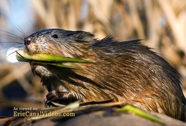 Muskrats loved to dig their homes into the banks of the original Erie Canal.
